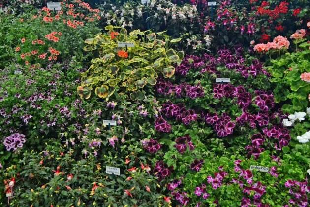 Pelargoniums and Fuchsias