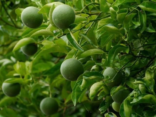 Citrus Switrus Ichangensis