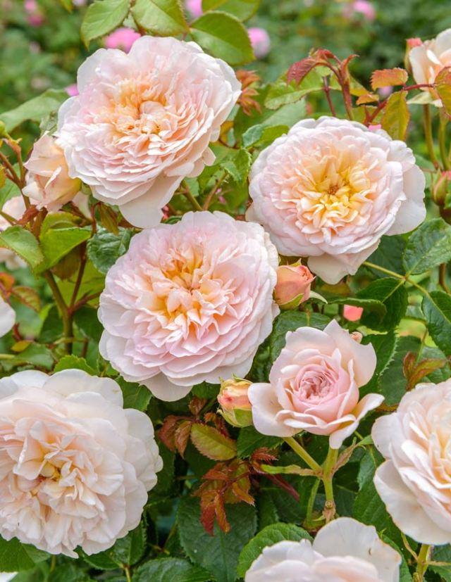 Rose Emily Bronte. Picture; David Austin