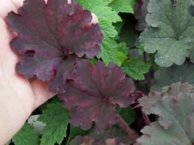 Plantagogo Heuchera Frilly Lizzie. Picture; RHS