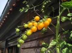 Sunviva tomato. Picture; Lubera