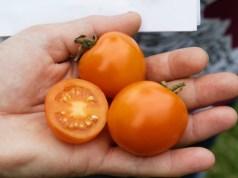 Tomato Ida Gold. Picture; Lubera