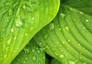 Luxurious foliage. Picture; BASF