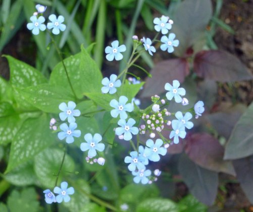Brunnera Jack Frost and Lysimachia