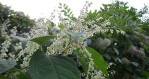 Legal ruling: Japanese knotweed
