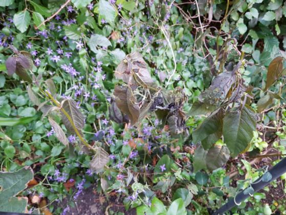 Drooping Lysimachia and Campanula carpatica