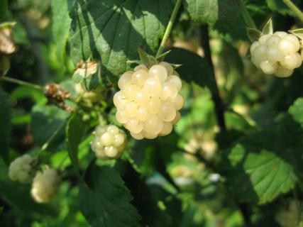 New blackberry Polarberry. Picture; Lubera