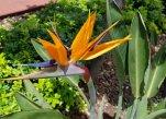 Strelitizia reginae (bird of paradise flower), symbol of Madeira