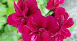 Geranium Tommy (Pelargonium)