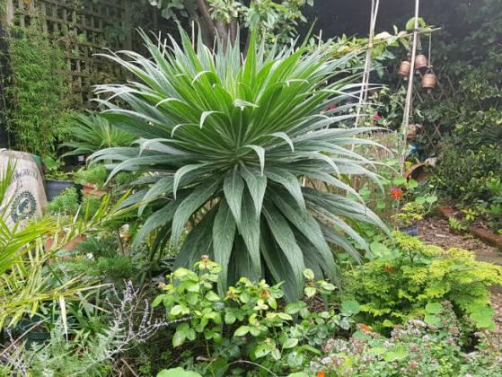 Next year's Echium pininana