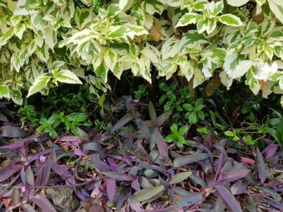 Tradescantia pallida as beddiing, Funchal Municipal Garden