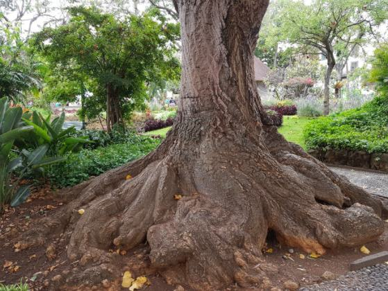 HUGE tree trunk, Funchal Municipal Garden