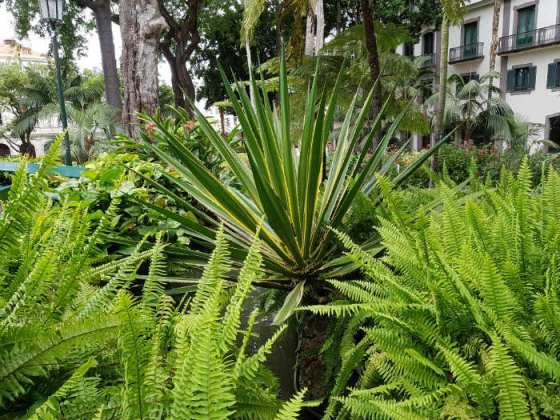 Yucca with ferns, Funchal Municipal Garden