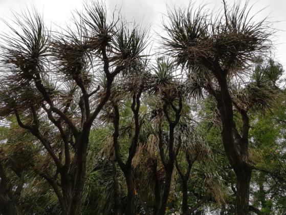 Unidentified Yucca-like trees, Funchal Municipal Garden