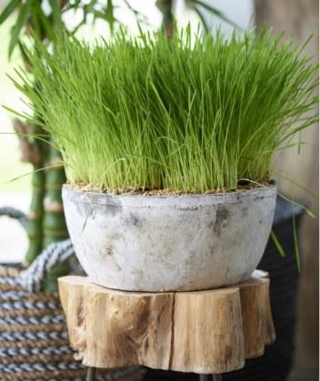 Cat grass. Picture; www.thejoyofplants.co.uk