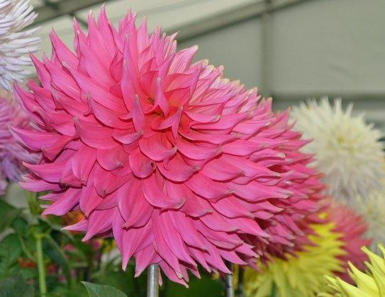 Huge pink dahlia
