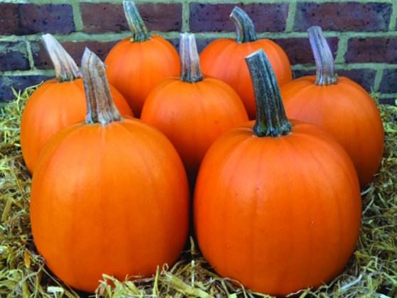 Pumpkin Evergold. Picture; Thompson & Morgan