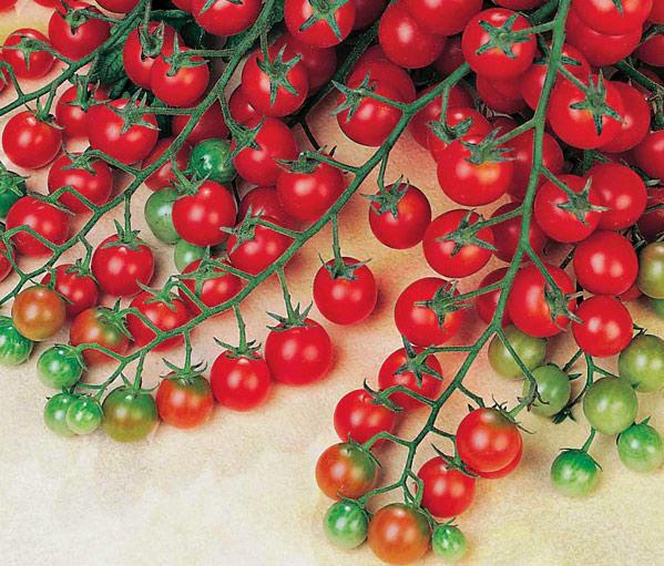 Tomato Sweet Success. Picture; Thompson & Morgan