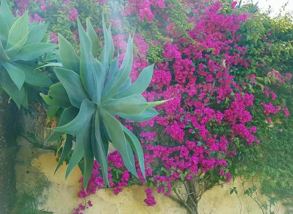 Agave and Bougainvillea