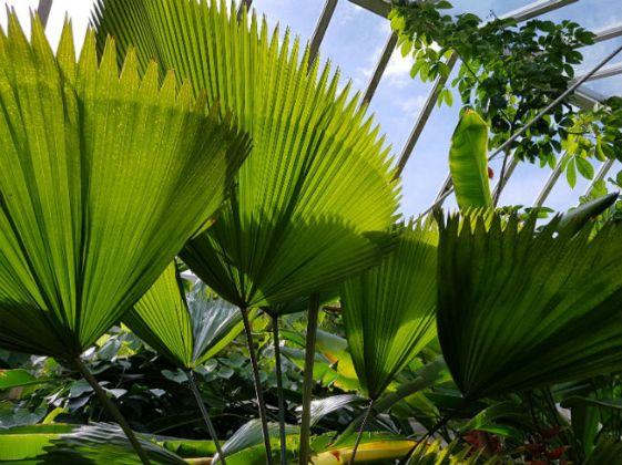 Australian fan palm (Licuala ramsayi)