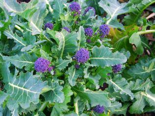 Broccoli Red Admiral. Picture; Thompson & Morgan