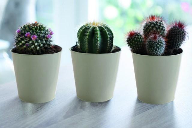 Cacti trio. Picture; Thompson & Morgan