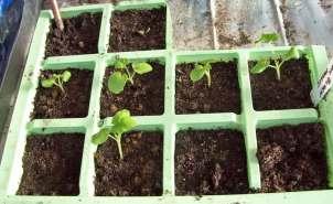 Geranium (Pelargonium) Black Magic seedlings