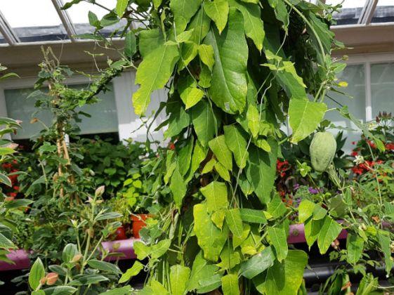 Araujia sericifera, the invasive cruel plant