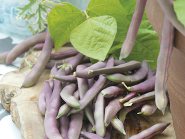 Dwarf French Bean Red Swan. Picture; Mr Fothergill's