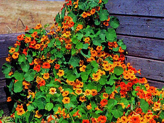 Nasturtium Tall Mix Organic Seed Range. Picture; Suttons