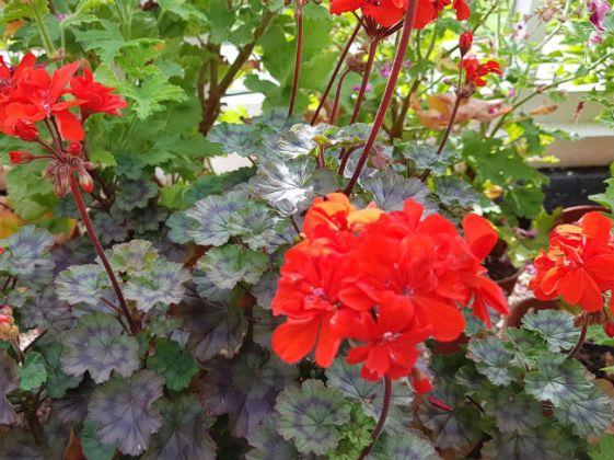 Pelargonium Edith Stern