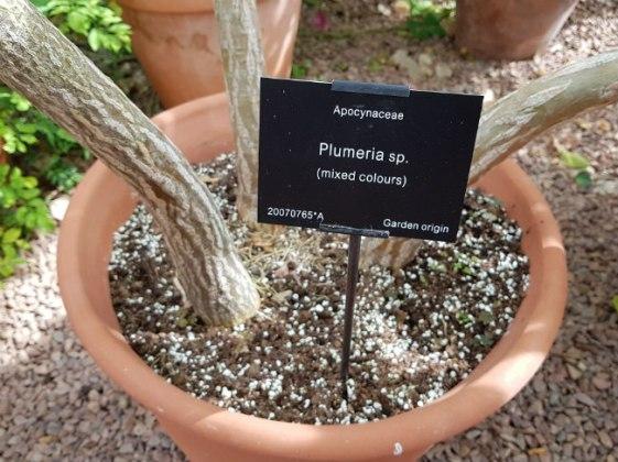 Plumeria species