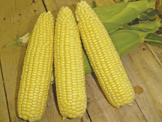 RHS Sweet Corn Mirai Gold F1. Picture; Mr Fothergill's