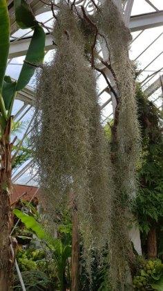 Spanish moss, Tillandsia usneoides