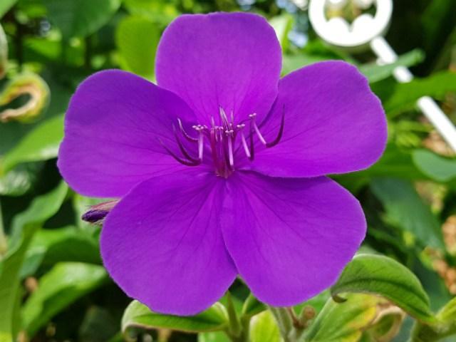 Tibouchina urvilleana, the glory bush