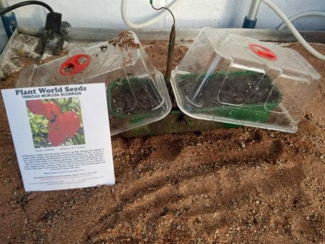Trinidad Moruga Scorpion seed sown, January 7