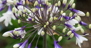 Agapanthus Fireworks. Picture; Wyevale Nurseries