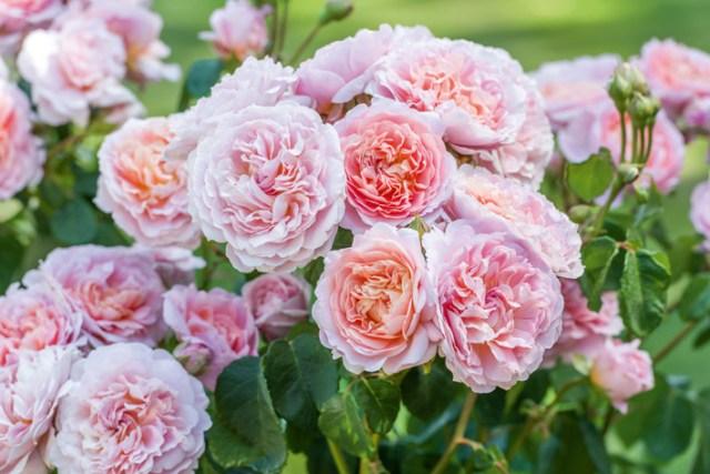 New rose Eustacia Vye. Picture; David Austin Roses
