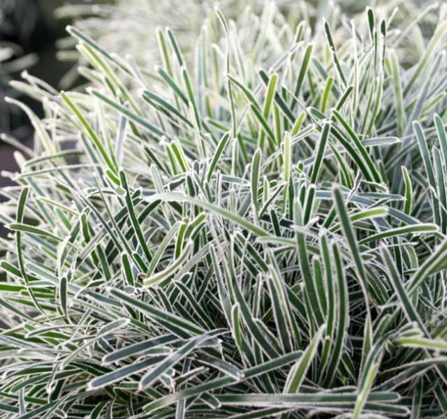 Ficinia Ice Crystal. Picture; Wyevale Nurseries