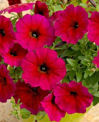 Super Petunia Bordeaux. Picture; Suttons