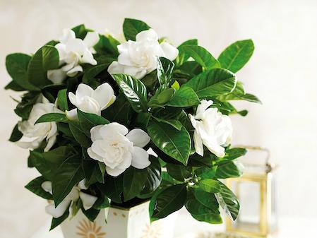 Gardenia Deluxe. Picture; Thompson & Morgan