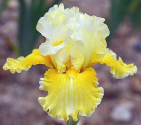 Iris Comme un Oeuf. Picture; Cayeux Iris
