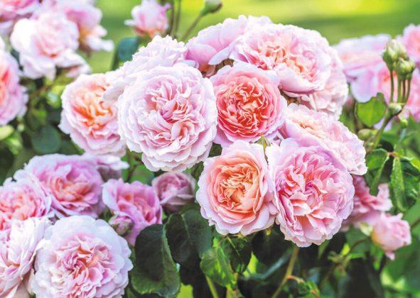 Rose Eustacia Vye (Ausegdon). Picture; David Austin Roses