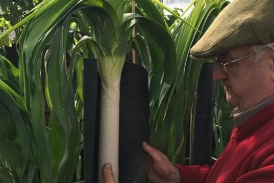 Medwyn Williams growing leeks in Canna Coco