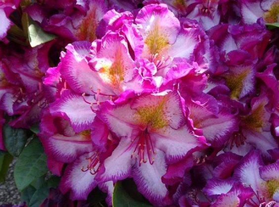Happydendron Pushy Purple