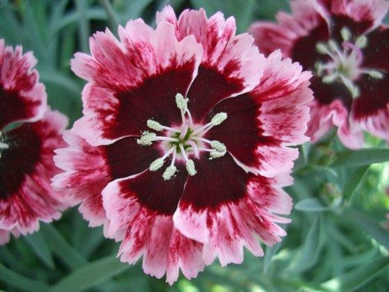 Dianthus Cherry Burst. Picture; Hardys