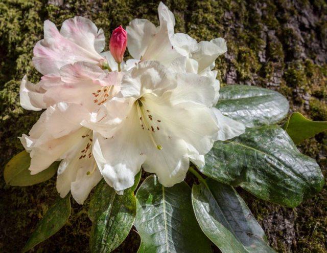 Rhododendron Marcus Agius