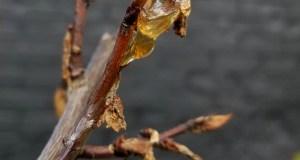 Hardened amber-like sap on apricot tree Kioto
