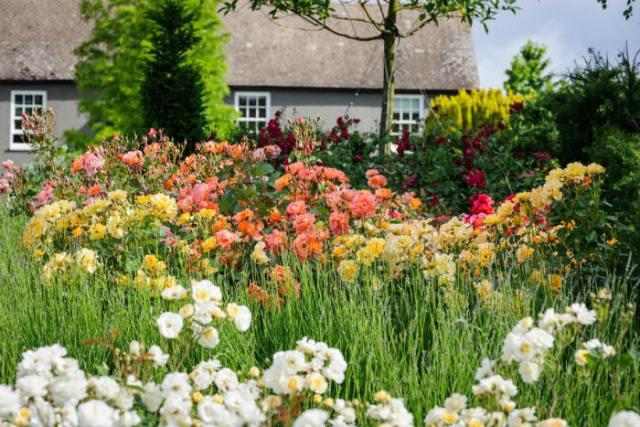 Hyde Hall rose garden. Picture; RHS/Jason Ingram