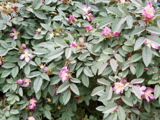 Rosa glauca in June